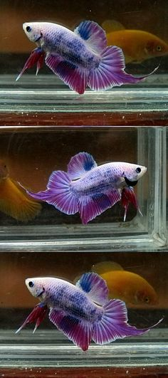 What's up with that tail? // purple grizzle halfmoon plakat betta fish