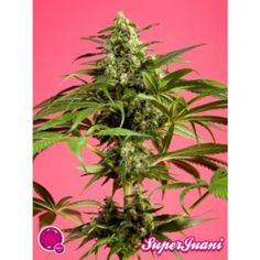 SuperJuani Feminised Seeds - http://www.cannabis-seeds-store.co.uk/feminised-seeds/philosopher-seeds/superjuani-feminised-seeds/prod_6324.html