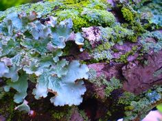 FOREST FLOOR photograph, lichen and moss micro by aetherstudio Slime Mould, Mushroom Fungi, Forest Floor, Patterns In Nature, Backyard Landscaping, Landscaping Ideas, Amazing Nature, Botany, Mother Nature