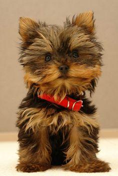 Cute  yorkshire terrier just like my Charlie chops opawz.com  supply pet hair dye,pet hair chalk,pet perfume,pet shampoo,spa....