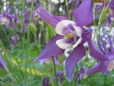 I like this columbine a lot. Got a whole cluster of them in perennial bed.