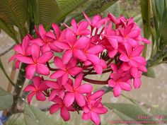 Ban Yen plumeria | Flickr - Photo Sharing!