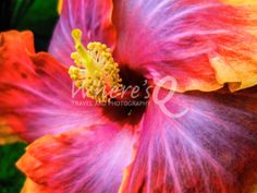 SoCal Hibiscus ~ California, USA.   What does your mom want for Mother's Day?   FLOWERS!  These prints look incredible with our custom framing or on stretched canvas, can be shipped directly to your mom's house, and will last forever.  Go to The Gallery at www.wheresq.com and click on Botanical Collection.  #mothersday #flowers