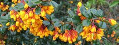 Berberis darwinii - berberidaceae - dark glossy green leaves - small, broadley oblong, sparsely spined margins -  small drooping racemes - bright yellow orange flowers - blue/black berries - any soil except waterlogged - informal low maintenance hedging - clay and sand tolerant
