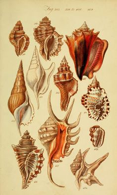 """Image from page 218 of """"A conchological manual"""" Antique Illustration, Nature Illustration, Botanical Illustration, Vintage Posters, Vintage Art, Vintage Prints, Scientific Drawing, Illustration Botanique, Psychedelic Art"""