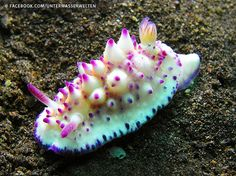 Unterwasserwelten > MarineBio  ·   ·  Nudibranch with a little fish on it. Can you see the fish?