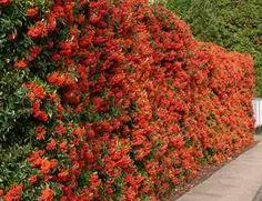 sementes cerca viva piracanta trepadeira bonsai p/ mudas