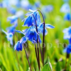 """Bulbii de viorele se inmultesc usor, formand in paduri si la marginea lor adevarate covoare albastre. Se descurca bine si la soare, dar si in zonele semiumbrite. Vioreaua de Siberia face parte parte din florile numite ''Vestitorii primaverii"""" pentru ca infloreste primavara devreme, de multe ori inflorind alaturi de ghiocei, branduse de primavara si altele. Plantati bulbii de viorele toamna, la o adancime de 5-8 cm. In functie de vreme, viorelele vor inflori in perioada martie - aprilie. Blue And Purple Flowers, Spring Bulbs, Allium, Cut Flowers, Sparklers, Amazing Gardens, Are You Happy, Garden Design, Spanish"""