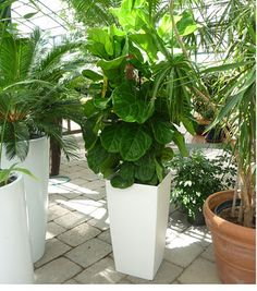 I finally got my very own fiddle leaf fig and I have pruned it to start growing into a tree shape, now I just need a pot like this one! White Pot, Hot House, Fiddle Leaf Fig, Tree Shapes, Ficus, Garden Inspiration, House Plants, Indoor Gardening, Pots