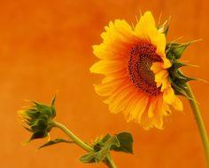 Orange Sunflowers   Share