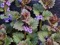 Ground Ivy. Weed / Herb