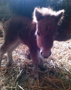 Miniature shetland foal - ITS SO FLUFFY IM GONNA DIE!!!!!!!!! ;) heehee