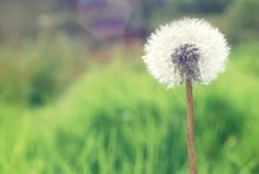 Countryside dandelion