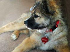shepherd mix pup