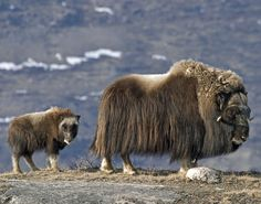 The softest, warmest and most expensive fiber in the world. Musk ox, Greenland.