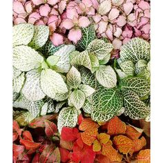 Fittonia |  Fifty shades of Fittonia. So many varieties, so many names, so many colours. Their mesmerising . Love these plant babes grouped together