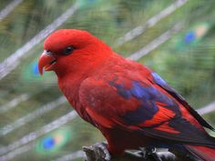 An Exquisitely Coloured Red Lory - With A Peacock As A Background!