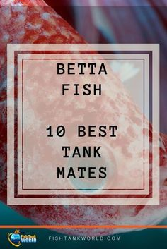 Betta Fish tank mates. The best 10 species to match with your Betta Fish to keep the harmony in the Aquarium. via @fishtankworld0195