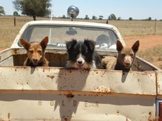 Outback Australia ~ The farmer in his well worked Holden Ute and the cattle dogs ready for round up! Outback Australia, Aussie Australia, Holden Australia, Australia Visa, Australia Country, Australia Tours, Animals And Pets, Cute Animals, Farm Dogs