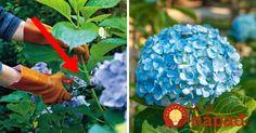 Urobte v júli toto s vašimi hortenziami a o rok sa budete pýšiť najbohatšími kvetmi v okolí Love Garden, Home And Garden, Gardening Tips, Iphone Wallpaper, Diy And Crafts, Flora, Chata, Hydrangeas, Gardens