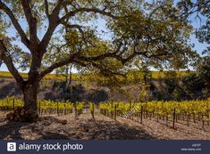Home - Napa Drivers Sonoma Wineries, Napa Sonoma, Napa Wine Tasting, Napa Ca, Old Vintage Cars, Napa Valley Wine, Tasting Room, Wine Recipes, Brewery