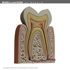 Tooth section 3d model - TOOTH by MORELLI and RUSSI 3D models