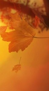 Top 20 Wallpapers Leaves On iphone Leaves Wallpaper Iphone, Autumn Leaves Wallpaper, Seasons Of The Year, Halloween, Sunset, Shades, Wallpapers, Outdoor, Top