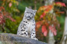 Young Snow leopard by Guido Wacker on 500px