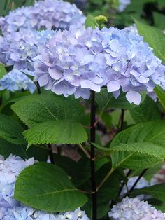 Blue Enchantress (Hydrangea macrophylla 'Monmar') is a reblooming mophead that features huge flower orbs up to 9 inches wide on the ends of glossy black stems as thick as pencils. Like many varieties, the bloom's color depends on the pH of the soil. Flowers turn green dotted with cream in fall. Grows up to 6 feet high and wide. Zones 5-9; Monrovia