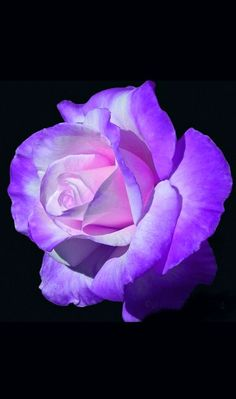 Bendita y hermosa, te amo. Whenever we approached the Flores & Prats company, we needed Beautiful Rose Flowers, Love Rose, Exotic Flowers, Amazing Flowers, Beautiful Flowers, Purple Flowers, Pink Roses, Black Roses, Rose Pictures