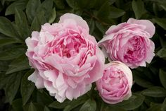 See how to grow your own gorgeous blooms, and some favorite new ones to try #peonies #marcoislandflorist