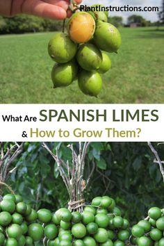 What are Spanish limes? Spanish limes, or Mamoncillo, are clusters of fruit that resemble small limes, but have a tough, outer shell and a lychee-like inside. Growing Gardens, Farm Gardens, Garden Farm, Exotic Fruit, Tropical Fruits, Fruit Garden, Edible Garden, Growing Strawberries In Containers, Herb Garden In Kitchen