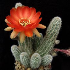 Bonsai Flower - Cacti - Cactus - Crown Mix - 10 Seeds - Spectacular Easy to grow flower seeds Cacti And Succulents, Planting Succulents, Planting Flowers, Desert Flowers, Desert Plants, Exotic Plants, Colorful Plants, Cactus House Plants, Cactus Y Suculentas