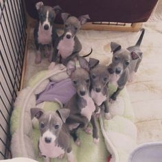 Adorable Italian Greyhound Puppies