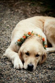 What could be more beautiful than a Labrador Golden Retriever wearing a floral wreath? - Napa wedding by Catherine Hall Studios I Love Dogs, Cute Dogs, Adorable Puppies, Animals And Pets, Cute Animals, Dog Wedding, Wedding 2015, Garden Wedding, Dream Wedding