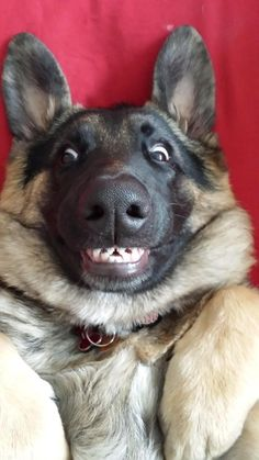 Oh, these dogs. Can you imagine life withouth them? Watching cute funny dogs and puppies is so much fun! Phteven Dog, Animals And Pets, Baby Animals, Animals Photos, Wild Animals, Dog Memes, Puppy Meme, Dog Humor, Puppy Chow