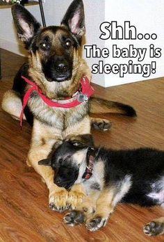 Keep it down... Be quiet! German Shepherd.