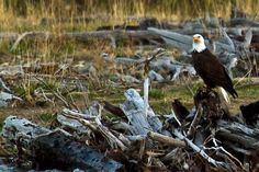 Bald Eagle taking a break alone the Gardiner Take A Break, Bald Eagle, Wildlife, Bird, Animals, Animales, Animaux, Birds, Animal