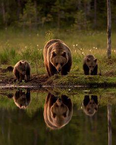 Familia de osos pardos en Finlandia.