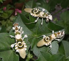 3 eyes - Pseudocreobotra wahlbergi, or Spiny Flower Mantis, is a small Flower Mantis native to southern and eastern Africa Wikipedia