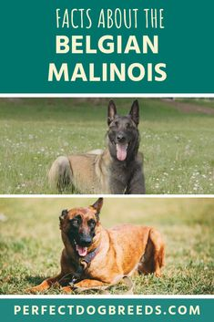 GSDs were originally bred to herd sheep in Germany. They were refined over 35 years by Captain Max von Stephanitz until he was satisfied with the breed. Read our guide to learn more facts about the Belgian Malinois vs German Shepherd. Belgian Malinois Training, Belgian Malinois Dog, German Malinois, German Shepherd Temperament, German Shepherd Facts, Shepherd Dogs, Cat Shaming, Most Popular Dog Breeds, Dog Names