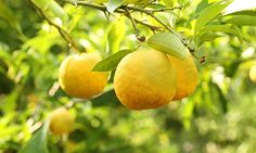 With its amazingly floral aroma and fruity zest, the yuzu is a citrus fruit worth tracking down, says James Wong