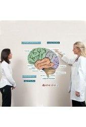 Brain Lobes Labeled Sticky Anatomy Wall Chart