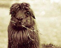 10 Unique Photos Of Llamas, Captured By Stephanie Kay-Kok