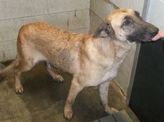 Three shepards scheduled for death in North Carolina. Please help them!