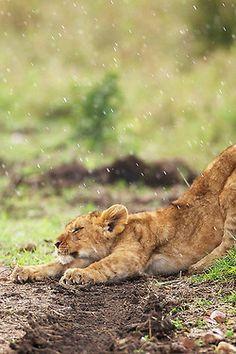 ♕ M - Lion Cub