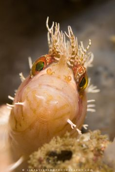 """""""You're an odd looking creature, thinks the Warbonnet to himself"""".  Warbonnets are little fish known for their intricate cirri atop their heads and faces."""