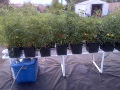 """Hydroponic Tomatoes (amazing!)  From a post titled: """"My Fourth System (tomatoes!)"""" on www.hydroponicsonline.com's forum"""