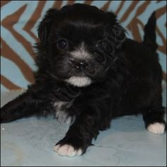 Shihpoo and I want!