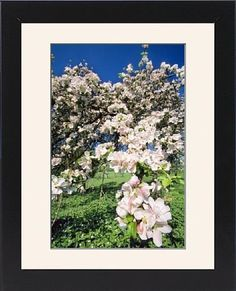 Framed Prints of USH-1083 APPLE Blossom - In spring time from Ardea Wildlife Pets $49.99